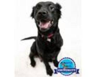 Adopt Moneypenny a Labrador Retriever