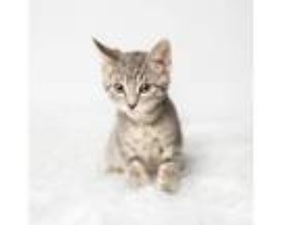 Adopt Luna Moon a Gray or Blue Domestic Shorthair / Mixed cat in Minneapolis