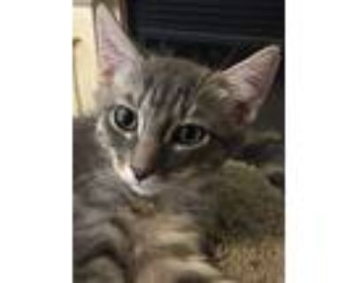 Jermaine, Domestic Shorthair For Adoption In Antioch, California