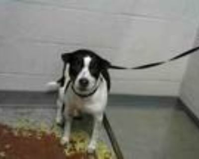 Adopt MINNIE a Rat Terrier, Mixed Breed