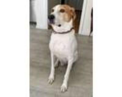 Adopt Herb (COURTESY POSTING) a Hound, Beagle