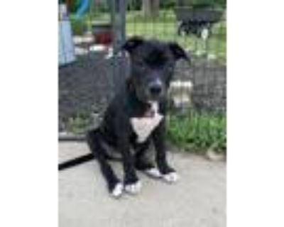 Adopt Corny a Pit Bull Terrier, Mixed Breed