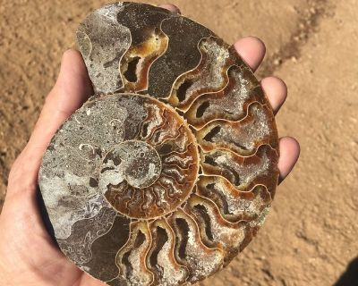 Opal lysed Fossil Shell