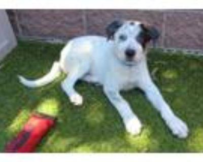 Adopt RALPH a Australian Cattle Dog / Blue Heeler, Mixed Breed