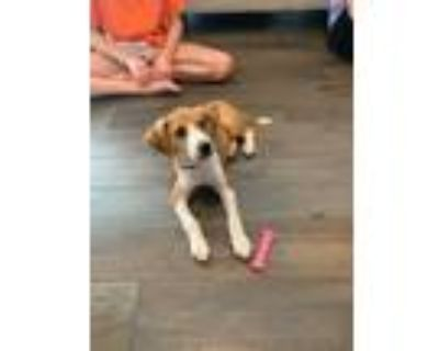 Adopt Rosie a Tan/Yellow/Fawn - with White Beagle / Mixed dog in Newark