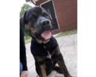Adopt Chiquis a Black Rottweiler / Labrador Retriever / Mixed dog in Jonesboro