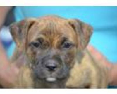 Adopt Rosa a Brindle Boxer / Mixed dog in Chester Springs, PA (31675146)