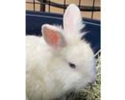 Adopt Doc-IN FOSTER a White Other/Unknown / Other/Unknown / Mixed rabbit in