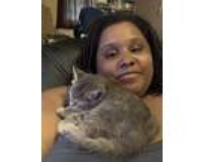 Adopt Sassy a Gray or Blue American Shorthair / Mixed (short coat) cat in