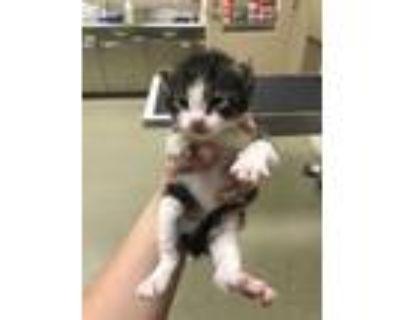 Adopt 47924931 a White Domestic Shorthair / Domestic Shorthair / Mixed (short