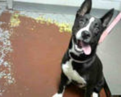 Adopt SEVYN a Black - with White Husky / American Pit Bull Terrier / Mixed dog