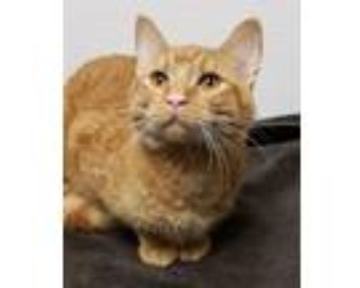 Adopt Seely a Domestic Short Hair