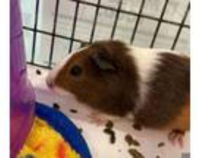 Adopt MIJA a Guinea Pig