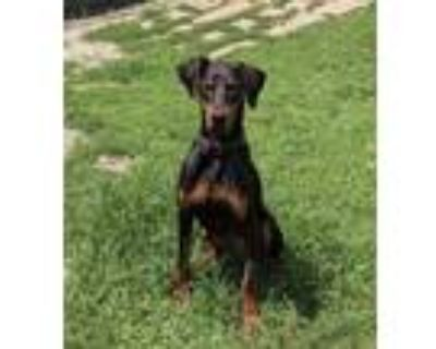Adopt Dobby a Black - with Tan, Yellow or Fawn Doberman Pinscher / Mixed dog in