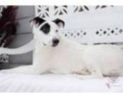 Adopt Dayana a Pointer, Great Pyrenees