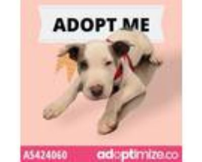 Adopt A5424060 a Pit Bull Terrier, Great Dane