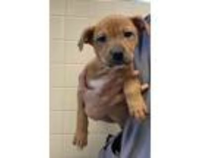 Adopt Amble a Staffordshire Bull Terrier / Mixed dog in Albuquerque