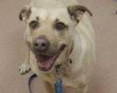 Adopt Lulu a Tan/Yellow/Fawn Labrador Retriever / Mixed dog in Boulder