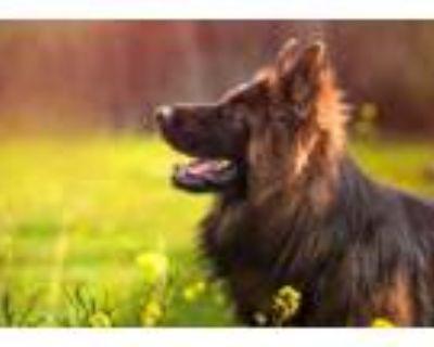 Buy Intelligent German Shepherd puppy in badger