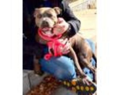 Adopt AllyMay a Pit Bull Terrier