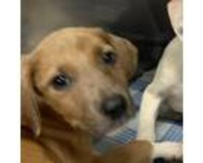 Adopt Pluto a White - with Tan, Yellow or Fawn Terrier (Unknown Type