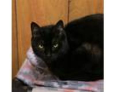 Adopt Shadow a All Black American Shorthair / Mixed (short coat) cat in
