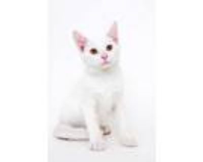 Adopt Cheese a White Domestic Shorthair / Domestic Shorthair / Mixed cat in