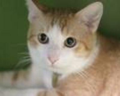 Adopt RUDY a Domestic Mediumhair / Mixed (medium coat) cat in Denver