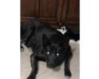 Adopt Genos a Black German Shepherd Dog / Akita / Mixed dog in Thousand Palms