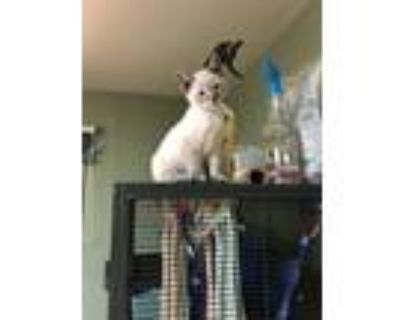 Adopt Tandy a White (Mostly) Siamese cat in Denver, CO (31521553)