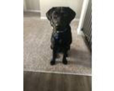 Adopt Archie a Black Labrador Retriever / Mixed dog in Kansas City