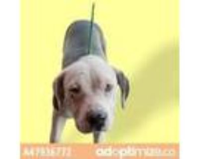 Adopt 47936772 a Brown/Chocolate American Pit Bull Terrier / Terrier (Unknown