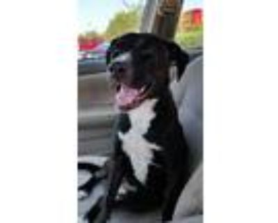 Adopt Kalei a Labrador Retriever / Pit Bull Terrier / Mixed dog in Alexandria