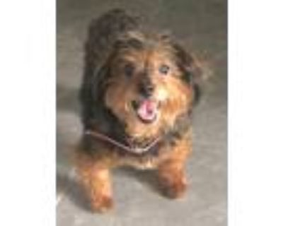 Adopt Penny Rose a Yorkshire Terrier, Poodle