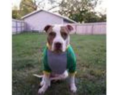 Adopt opal a Pit Bull Terrier