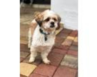 Adopt Tony a White - with Tan, Yellow or Fawn Shih Tzu / Poodle (Miniature) /