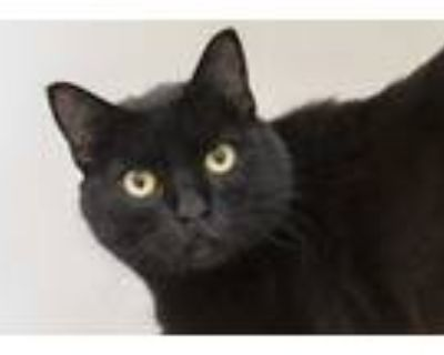 Adopt Walrus a All Black Domestic Shorthair / Domestic Shorthair / Mixed cat in