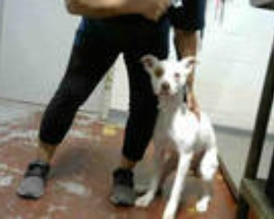 Adopt GOLDEE a White - with Tan, Yellow or Fawn Beagle / American Pit Bull