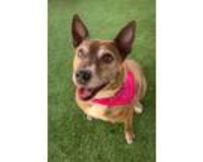 Adopt Cristy a Brown/Chocolate American Pit Bull Terrier / Mixed dog in Rio