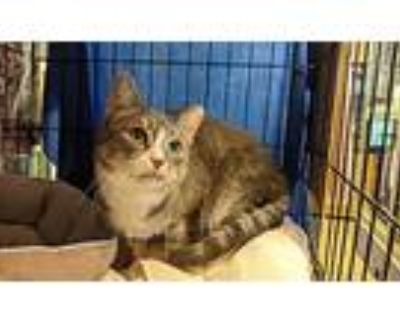 Lexus, Domestic Shorthair For Adoption In Windsor, Connecticut