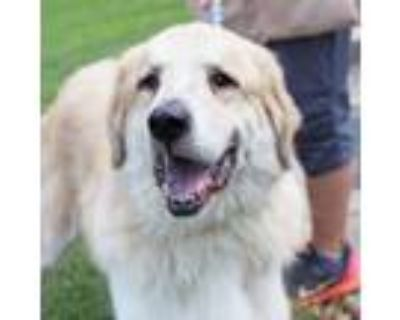 Adopt Chewy a Great Pyrenees, Retriever