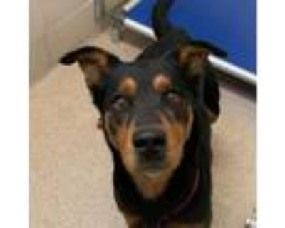 Adopt KB- Rescue Only a Black German Shepherd Dog / Rottweiler / Mixed dog in