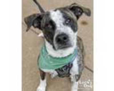 Adopt Pearl a Gray/Silver/Salt & Pepper - with White Catahoula Leopard Dog /