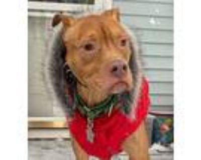 Stella, American Pit Bull Terrier For Adoption In Binghamton, New York