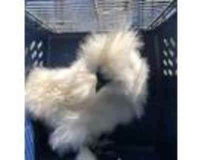 Adopt Blue a Chicken