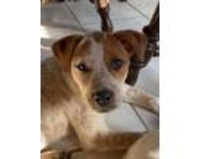 Adopt Speck a Australian Cattle Dog / Blue Heeler, Mixed Breed