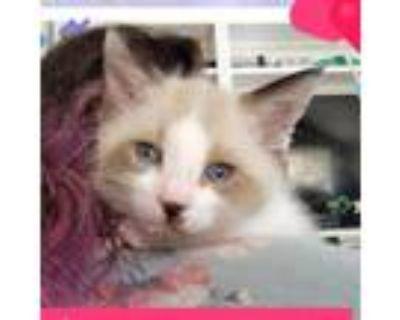 Adopt Gevalia a Siamese, Domestic Short Hair