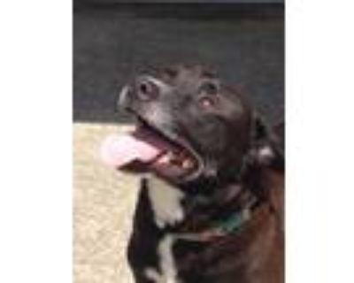 Adopt Baxter a Labrador Retriever, Rottweiler