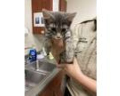 Adopt Rabbit a Gray or Blue Domestic Longhair / Domestic Shorthair / Mixed cat