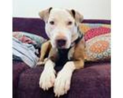 Adopt Cleo a Cattle Dog, Pit Bull Terrier